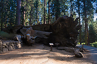 Fallen Tunnel Tree in Yosemite National Park's Mariposa Grove, California