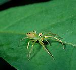 Jumping Spider, Family: Salticidae, Belize.Belize....