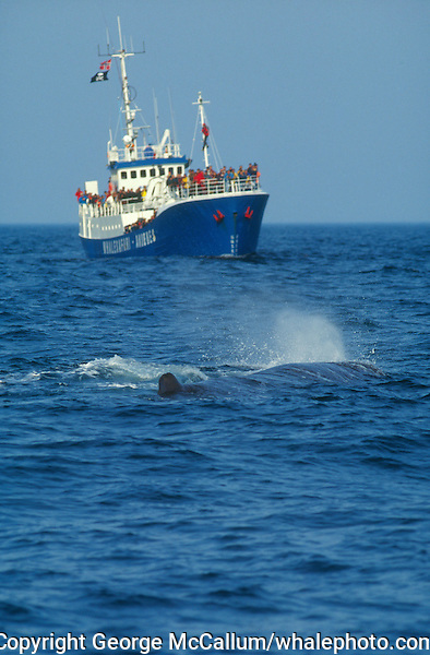 Sperm whale ( Physeter macrocephalus ) spouting near approaching whalewatching ship. Bleik Canyon, vesteralen, Norwegain sea, North East atlantic