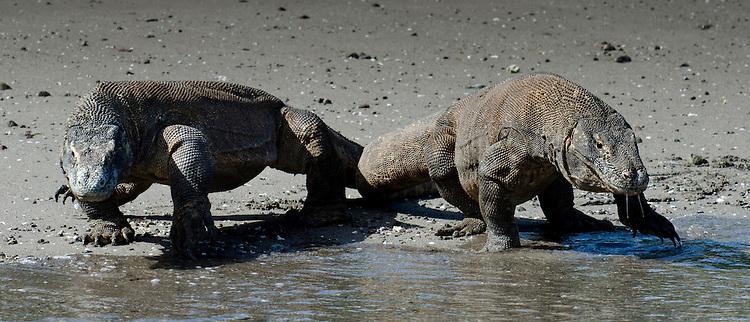 A pair of Komodo Dragons, Varanus komodoensis, Horseshoe bay, Komodo National Park