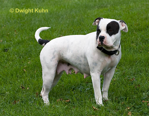SH40-573z  American Bulldog, Pregnant female,  Canis lupus familiaris
