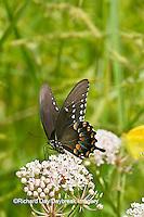 03029-01412 Spicebush Swallowtail butterfly (Papilio troilus) on Swamp Milkweed (Asclepias incarnata) Marion Co., IL