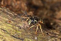 Norwegische Wespe, Arbeiterin, Dolichovespula norwegica, Norwegian Wasp