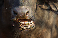 Close-up of a buffalo chewing
