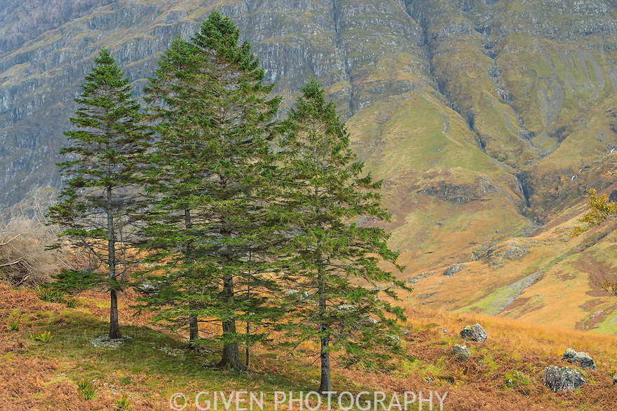 Spruce Trees in the Scottish Highlands