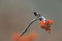 Lucifer Hummingbird, Calothorax lucifer, male on Ocotillo (Fouquieria splendens) , Big Bend National Park, Texas, USA
