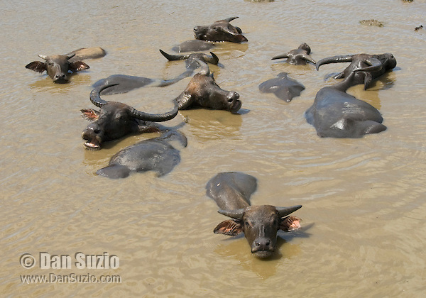 Asian water buffalo, Bubalus bubalis, near Dili, Timor-Leste (East Timor).