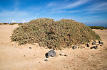 Sand dune vegetation landscape, Caleta de Famara, Lanzarote, Canary islands, Spain