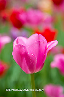 63821-22905 Pink and red tulips, Cantigny Park, Wheaton, IL