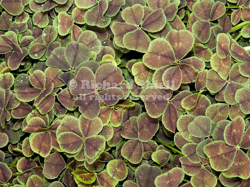Dark Dancer Clover, Trifolium repens
