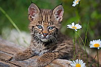 Baby Bobcat (felis rufus) leaning against a log beside a patch of daisies near Kalispell, Montana, USA - Captive Animal