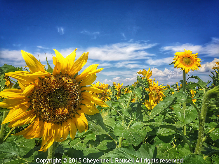 (i)Sunflowers - Montana*<br />
