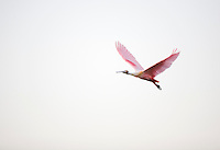 TAMPA, FLORIDA - MARCH 12, 2008: A roseate spoonbill flies toward a mangrove roost in the mangrove estuary of northern Tampa Bay. The brackish water estuary is home to game fish, migratory birds and mammals like the threatened West Indian manatee. Photo by Matt May