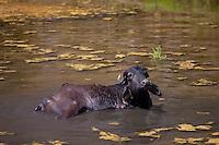 Buffalo wallowing in lake at Ranakpur in Pali District of Rajasthan, Western India