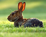 Rabbit on lawn of Newsday in Melville on Tuesday August 2, 2005.  (Newsday Photo / Jim Peppler).