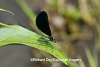 06014-001.07 Ebony Jewelwing (Calopteryx maculata) male, Lawrence Co. IL