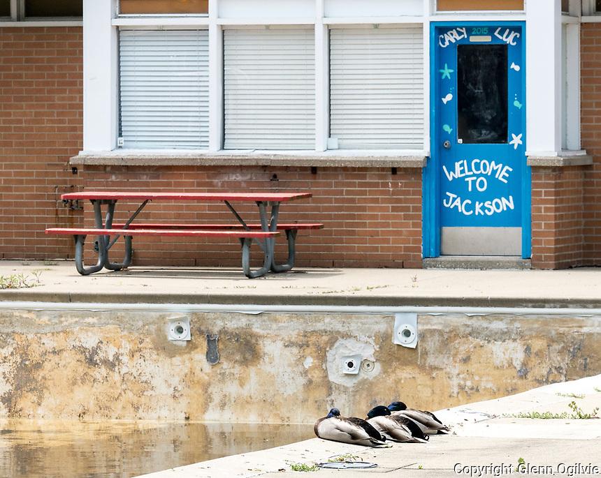 A trio of mallard ducks sit along the edge of the defunct Jackson Pool.