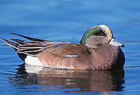 35-B02-WA-146   AMERICAN WIDGEON (Mareca americana) male on pond, western Oregon, USA.