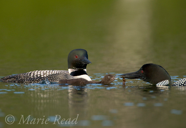 Common Loons (Gavia immer) adult feeding chick, Michigan, USA.