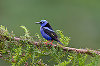 Male Red-legged Honeycreeper (Cyanerpes cyaneus).  Found from Mexico to Brazil.  Photographed in Costa Rica.