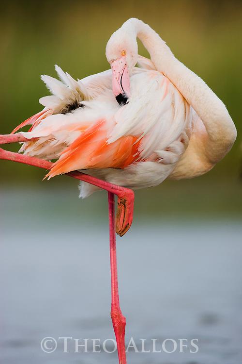 Greater Flamingo (Phoenicopterus roseus) preening, Pont Du Gau, Camargue, Rhone Delta, France