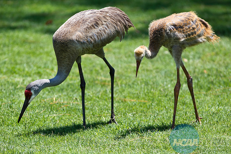 18 MAY 2012: A Sand Hill crane mother and her offspring feed during play of the Division III Men's Golf Tournament at the Mission Inn Resort & Club in Howey-in-the-Hills, FL.  Oglethorpe won the team national title with a +19 score.  Matt Marriott/NCAA Photos