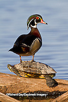 00715-08011 Wood Duck (Aix sponsa) male standing on Red-eared Slider (Trachemys scripta elegans) on log in wetland, Marion Co., IL