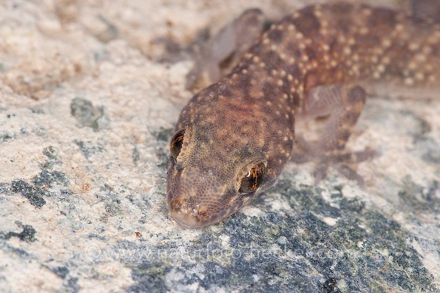 "Europäischer Halbfinger, Portrait, Porträt, Gecko, Halbfinger-Gecko, Türkischer Halbfingergecko, ""Hausgecko"", Hemidactylus turcicus, Turkish gecko, Mediterranean gecko, Mediterranean House Gecko, common house gecko, Gecko nocturne, Hémidactyle verruqueux"
