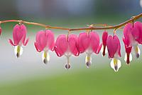 Row of Bleeding heart flowers handing in green spring, USA