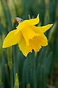 Daffodil (Narcissus 'Golden Harvest'), a Division 1 Trumpet variety, mid February.