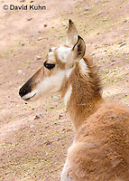 0606-1111  Pronghorn (Prong Buck) in Sonoran Desert, Antilocapra americana  © David Kuhn/Dwight Kuhn Photography