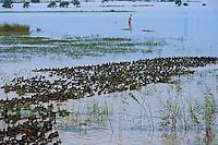 Ducks on the edge of the Tonle Sap lake near Phnom Penh, Cambodia