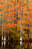 Fall color reflected from cypress trees at Carvers Creek State Park, Spring Lake, NC