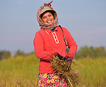Orn Lao, a woman in the Cambodian village of Somrith, works harvesting rice. A Methodist, she is a member of a community rice bank organized in her village by the Community Health and Agricultural Development program of the Methodist Mission in Cambodia.