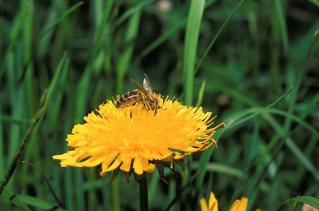 Abeille pollinisant une fleur. *** Honeybee pollinating flower.