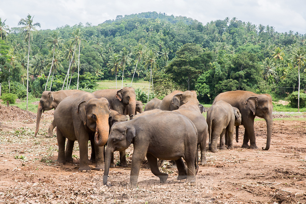 Pinnawala Elephant Orphanage in Sri Lanka.