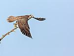 Juvenile Peregrine Falcon taking off in flight