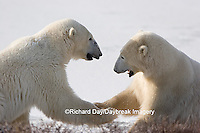 01874-106.06 Polar Bears (Ursus maritimus) sparring, Churchill, MB