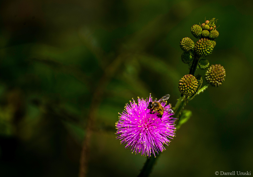Fine Art Photograph of a Bumblebee on a single plant extracting pollen from it's vibrant pink flower in Puerto Vallarta, Mexico.