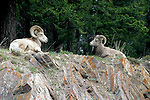 Big horn sheep; ovis canadensis