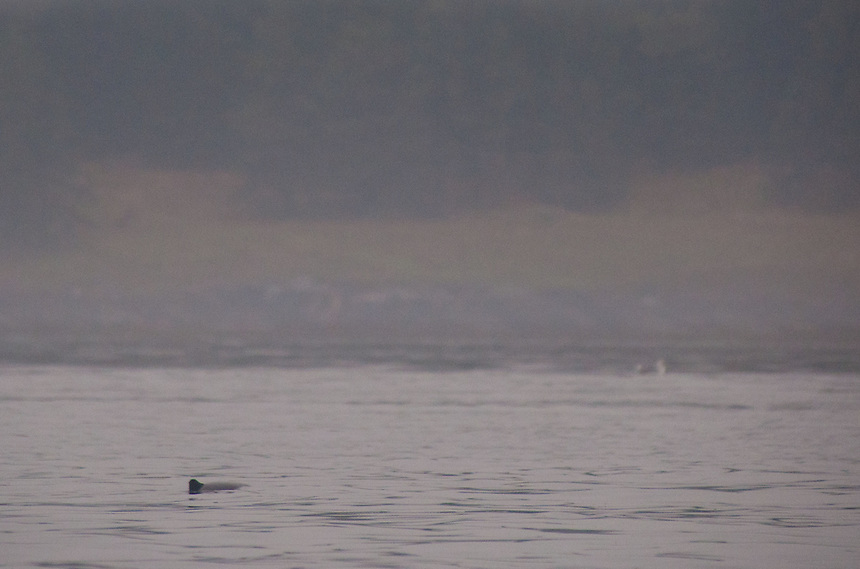 Porpoise Surfaces in Haro Strait, San Juan Islands, Washington, US