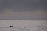 Porpoise Surfaces in Haro Strait, San Juan Islands, Washington, US