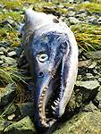 dead pink salmon on the shore of Chichagof Island near Port Althorp.