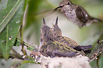 La Jolla, California; a female Anna's Hummingbird (Calypte anna) hovers, wings beating rapidly, near her nest with two, three week old chicks waiting to be fed