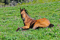 Buck skin horse lying in a wildflower covered meadow on Cut Bank Creek, Montana Blackfeet Reservation.
