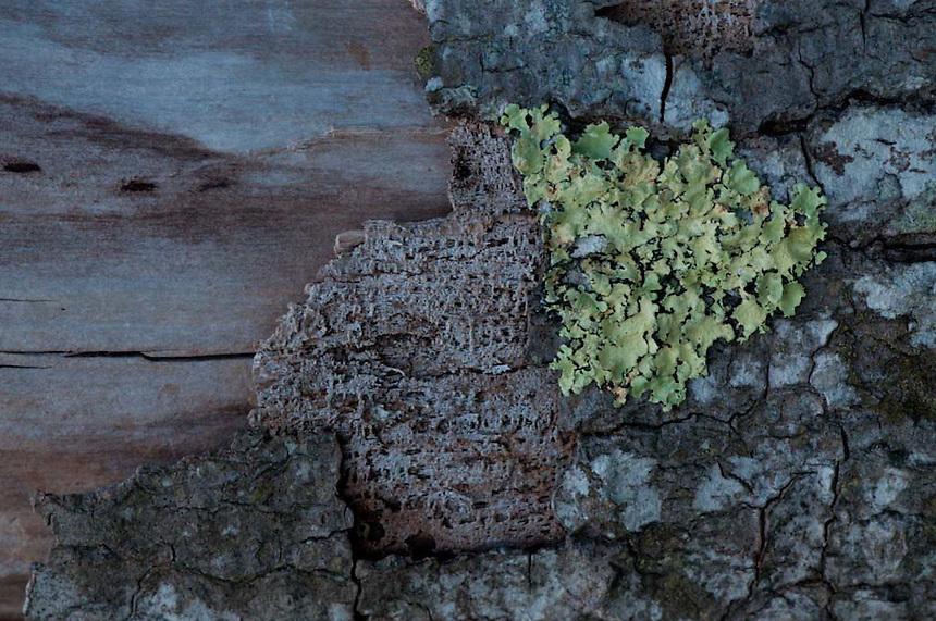 Tree and Lichens Detail, Lower Negro Island, Maine, US