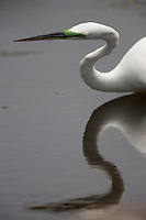 Great Egret; Ardea alba; in breeding color; lime-colored lores; Lily Lake; Cape May, NJ