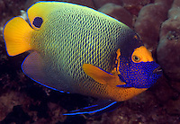 The yellowmask angelfish, Pomacanthus xanthometopon, is also commonly referred to as a blue-face angelfish.  Mabul Island, Malaysia.