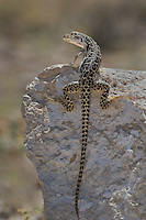 437880008 a wild long-nosed leopard lizard gambelia wislizenii sits on a rock along fish slough road in mono county california