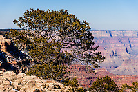 United States, Arizona, Grand Canyon. View from Yaki Point. An old tree.